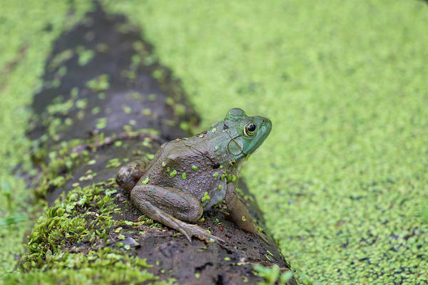 Bullfrog Photograph - American Bullfrog In Pond With Duckweed by Richard and Susan Day