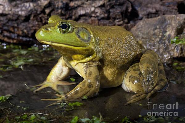 Photograph - American Bullfrog by Phil Degginger