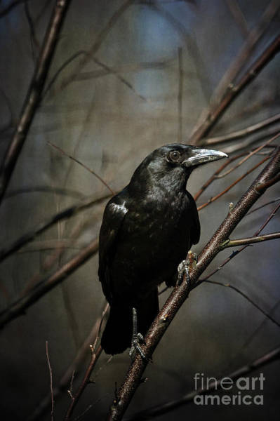 Photograph - American Crow by Lois Bryan