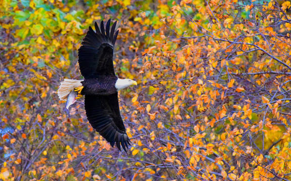 Photograph - American Eagle In Autumn by William Jobes
