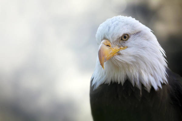 Photograph - American Eagle by Jason Politte