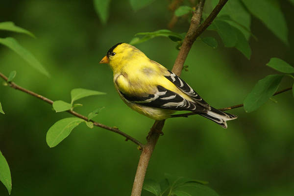 Photograph - American Goldfinch  by Sandy Keeton