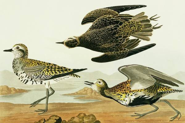Aquatint Photograph - American Golden Plover by Natural History Museum, London/science Photo Library