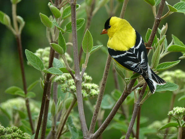 Photograph - American Goldfinch by Bruce Morrison
