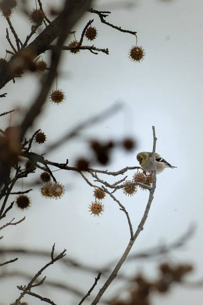 Photograph - American Goldfinch Feeding In Winter by  Onyonet  Photo Studios