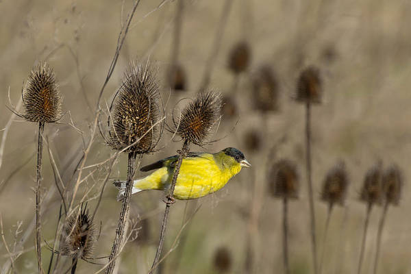 Caprifoliaceae Photograph - American Goldfinch In The Teasel by Kathleen Bishop