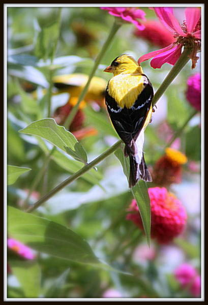 Photograph - American Goldfinch by Kay Novy