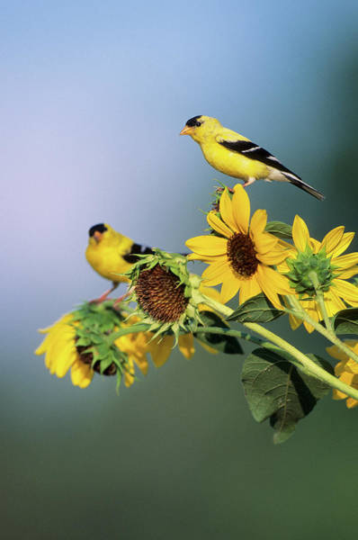 Goldfinch Photograph - American Goldfinch Male (carduelis by Richard and Susan Day