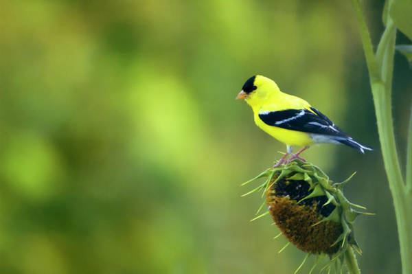 Goldfinch Photograph - American Goldfinch by Maria Mosolova/science Photo Library