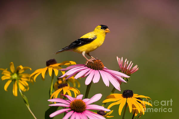 Photograph - American Goldfinch by Marie Read