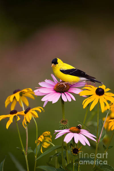 Photograph - American Goldfinch On Coneflower by Marie Read