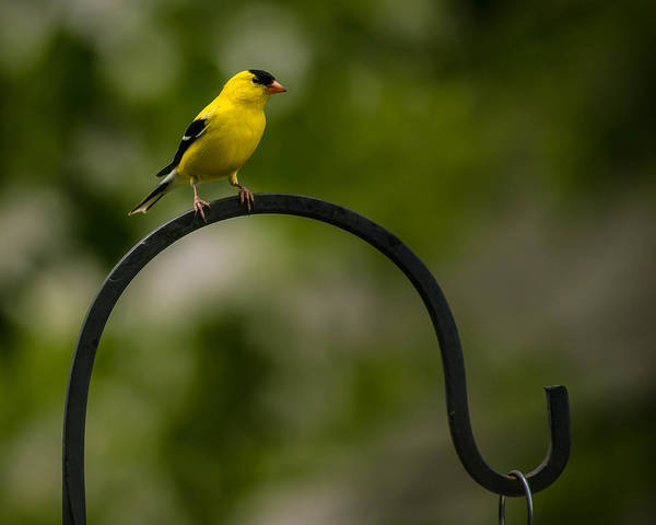 Photograph - American Goldfinch Perched On A Shepherds Hook by  Onyonet  Photo Studios