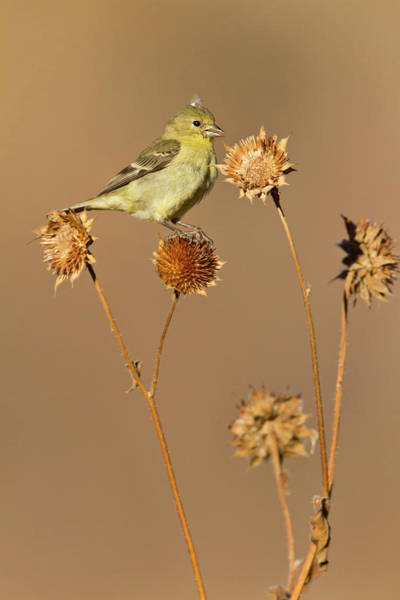 Goldfinch Photograph - American Goldfinch (spinus Tristis by Larry Ditto