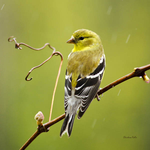 Photograph - American Goldfinch Square by Christina Rollo
