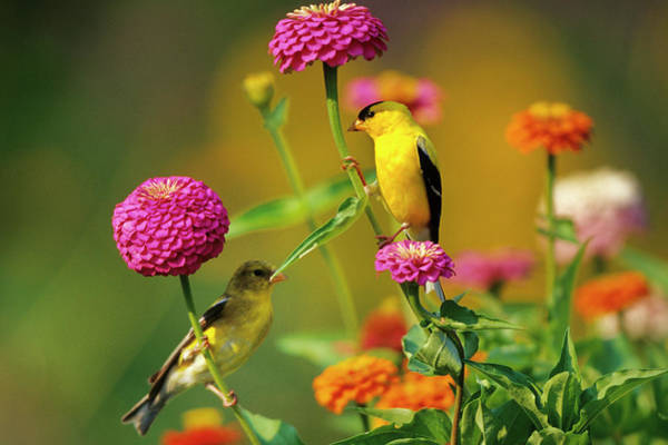 Two Birds Photograph - American Goldfinches (carduelis Tristis by Richard and Susan Day