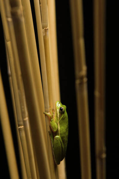 Hyla Wall Art - Photograph - American Green Tree Frog by Aaron Ansarov