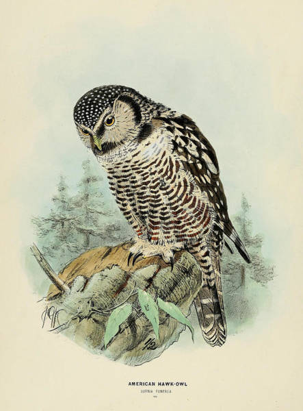 Owl Painting - American Hawk Owl by Dreyer Wildlife Print Collections
