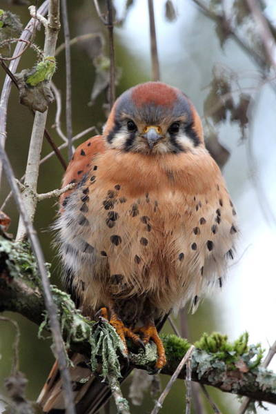 Vogel Photograph - American Kestrel by Angie Vogel