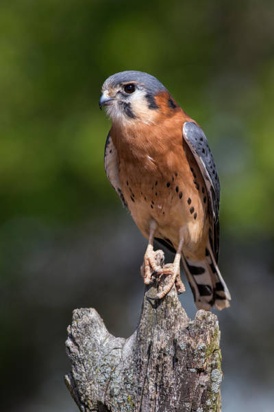 Photograph - American Kestrel by Dale Kincaid