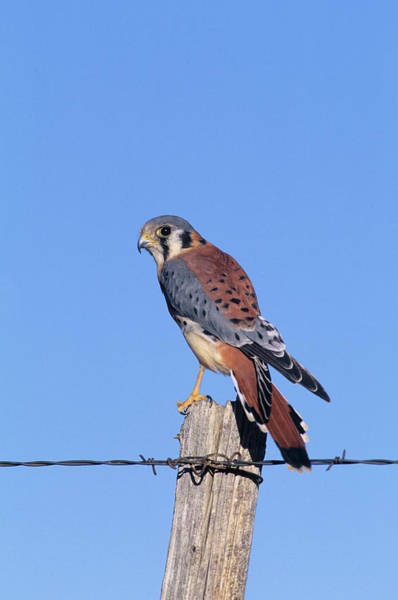 Cavity Wall Art - Photograph - American Kestrel (falco Sparverius by Richard and Susan Day