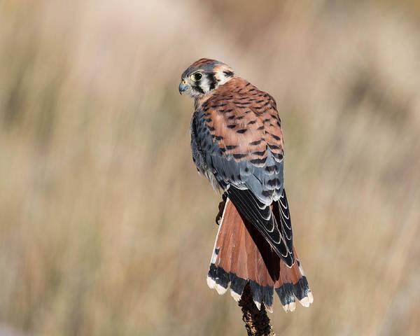 Wall Art - Photograph - American Kestrel Falcon by Dawn Key