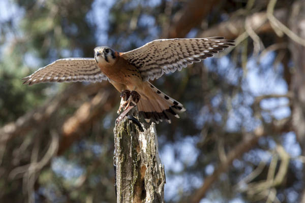 Photograph - American Kestrel by Jack R Perry
