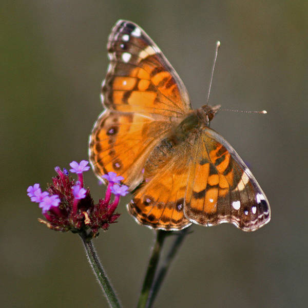 Photograph - American Lady Butterfly On Brown Square by Karen Adams