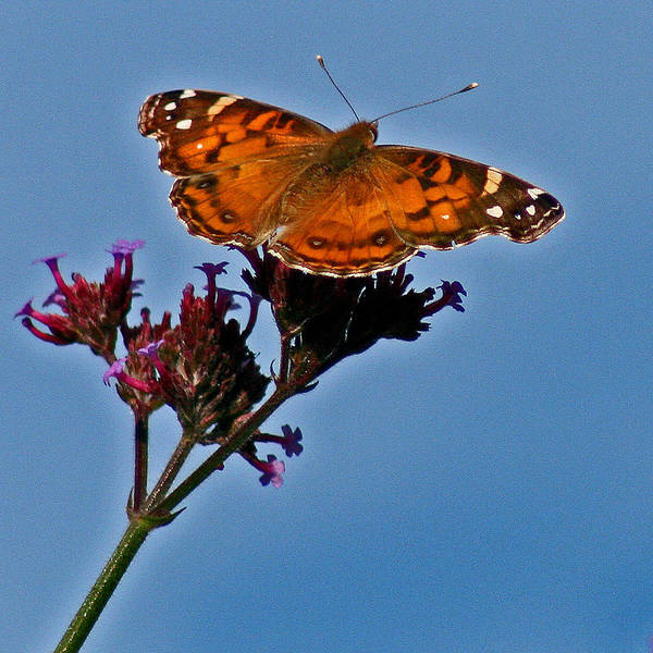Photograph - American Lady Butterfly With Blue Sky by Karen Adams
