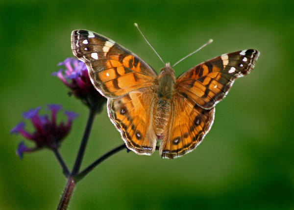 Photograph - American Lady Butterfly With Green Background by Karen Adams