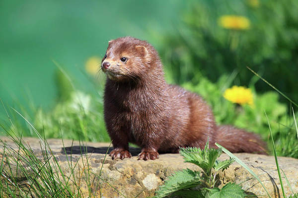 Look Away Photograph - American Mink by Mlorenzphotography