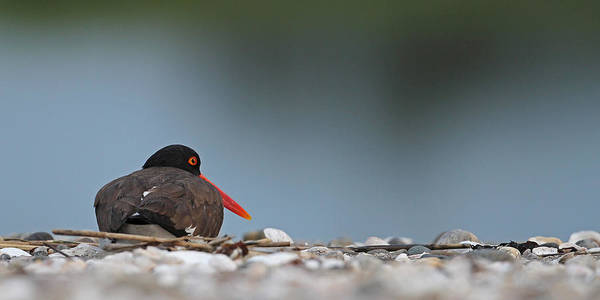 Photograph - American Oystercatcher by Brian Magnier