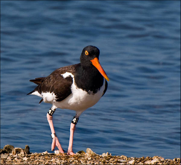 Photograph - American Oystercatcher by Ginger Wakem