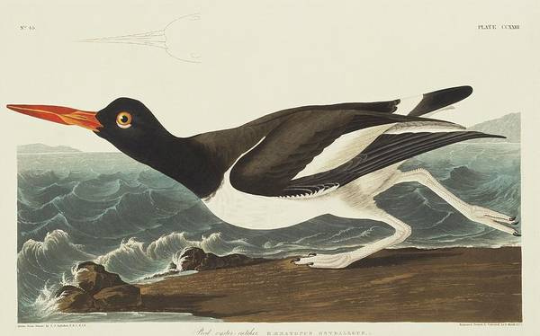 Wall Art - Photograph - American Oystercatcher by Natural History Museum, London/science Photo Library
