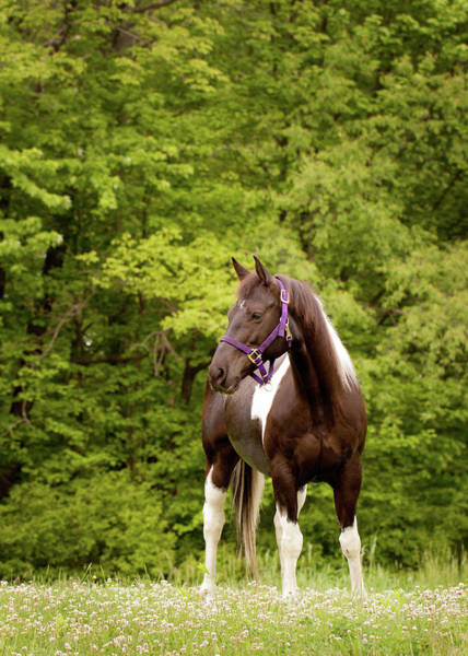 Painted Horses Photograph - American Paint Horse Standing In Field by Kerri Wile