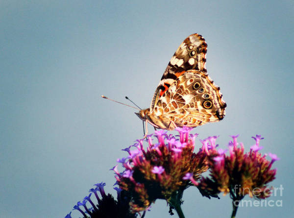 Photograph - American Painted Lady Butterfly Blue Background by Karen Adams