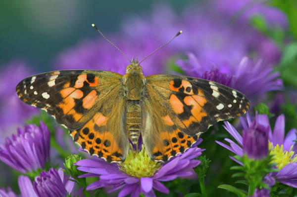 Aster Photograph - American Painted Lady Butterfly by Darrell Gulin