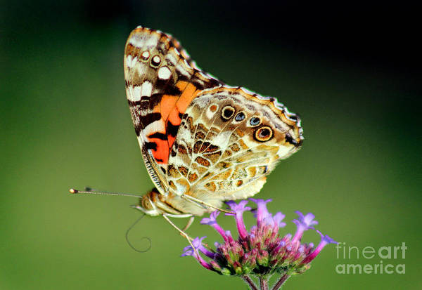 Photograph - American Painted Lady Butterfly Green Background by Karen Adams