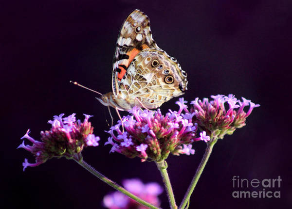 Photograph - American Painted Lady Butterfly Purple Background by Karen Adams