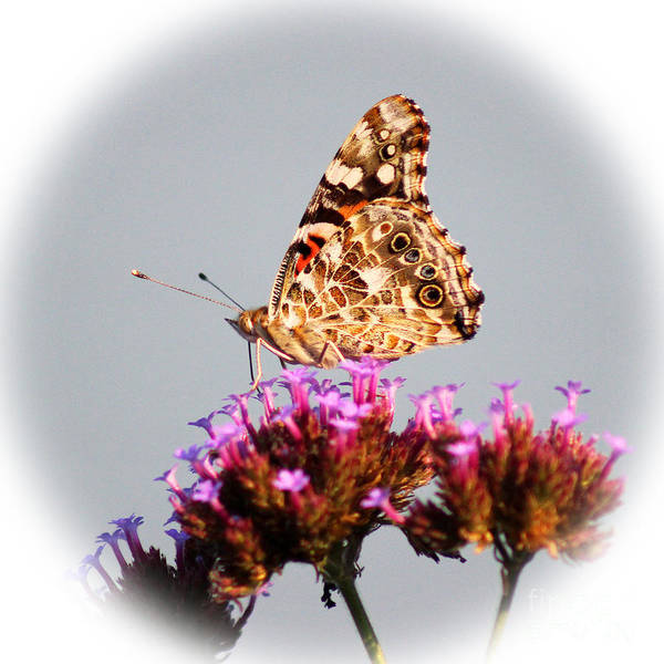 Photograph - American Painted Lady Butterfly White Square by Karen Adams