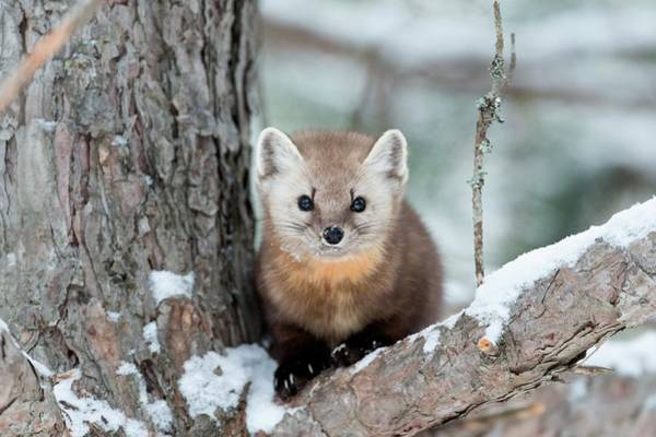 Canadian Fauna Photograph - American Pine Marten by Dr P. Marazzi/science Photo Library