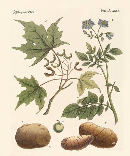 Maple Drawing - American Plants by Splendid Art Prints