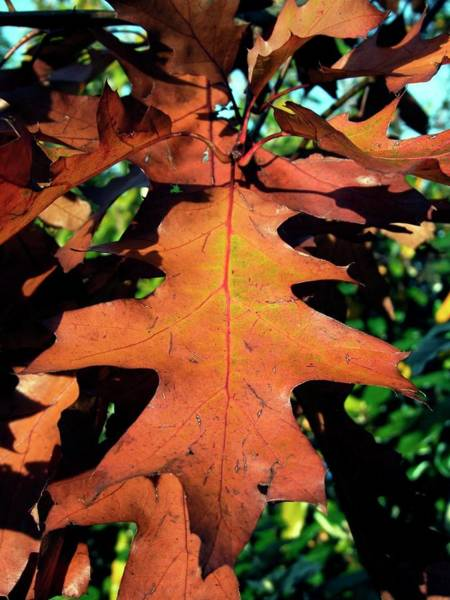 Bronze Leaf Wall Art - Photograph - American Red Oak Leaf (quercus Rubras) by Ian Gowland/science Photo Library