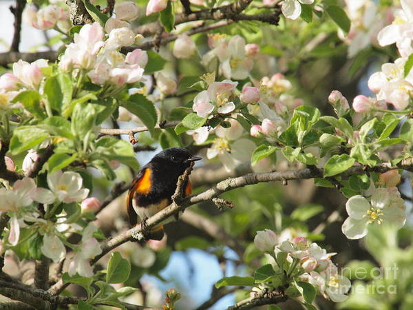 Wall Art - Photograph - American Redstart by Frank Piercy