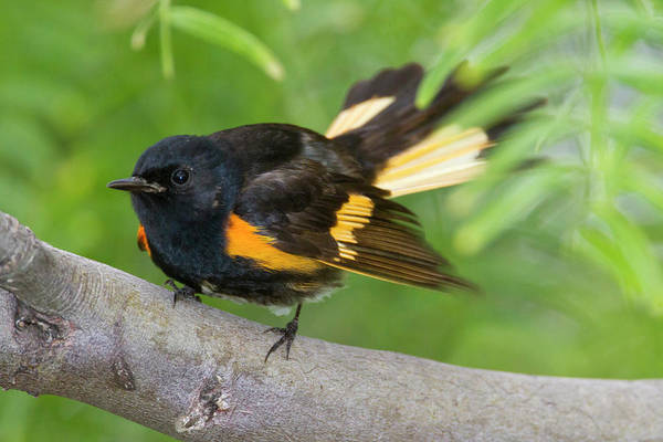Woodlot Photograph - American Redstart (setophaga Ruticilla by Larry Ditto