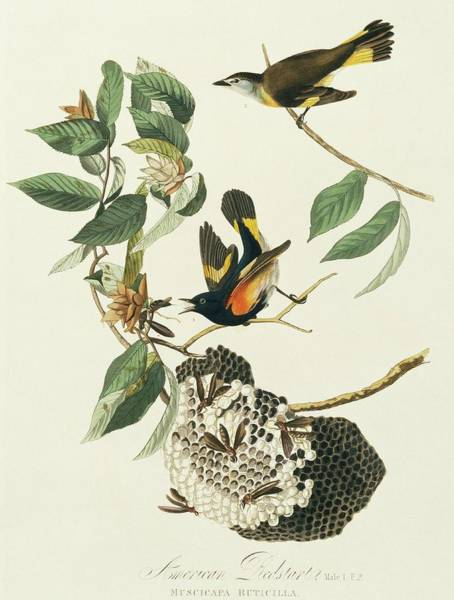 Aquatint Photograph - American Redstarts by Natural History Museum, London/science Photo Library