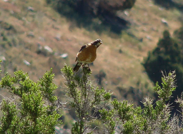 Wall Art - Photograph - American Robin Crazy by Carl Moore