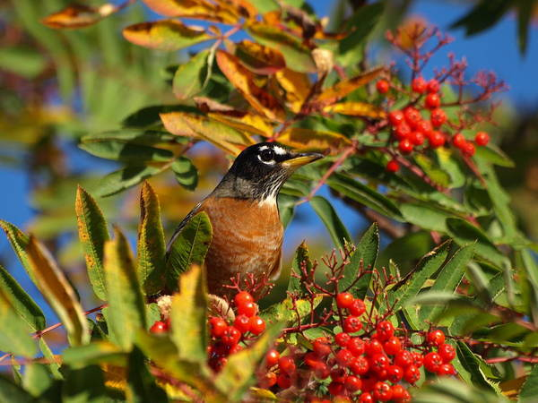Photograph - American Robin by James Peterson