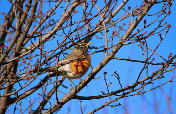 Photograph - American Robin by Rima Biswas