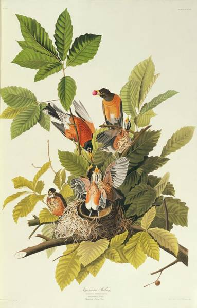 Aquatint Photograph - American Robins by Natural History Museum, London/science Photo Library