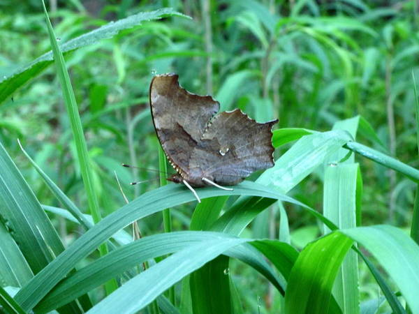 Snout Butterfly Photograph - American Snout Butterfly by Joshua Bales
